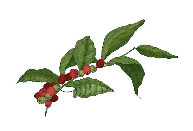 Desenho botânico do ramo de coffea ou cafeeiro com folhas e frutas frescas maduras ou bagas