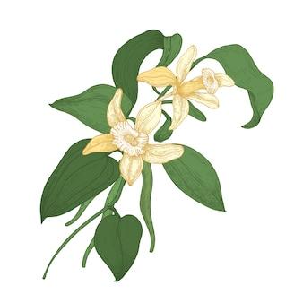 Desenho botânico elegante de ramo de planta de baunilha com flores desabrochando e folhas isoladas. especiaria ou condimento aromático