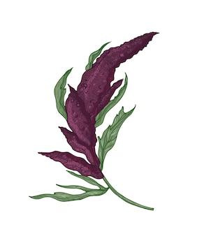 Desenho botânico realista de planta de quinua ou amaranto com planta em flor ou inflorescência