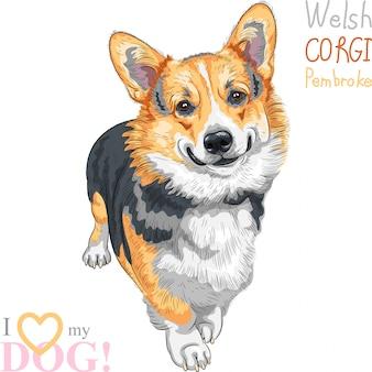 Desenho colorido do cão da raça pembroke welsh corgi em pé e sorrindo