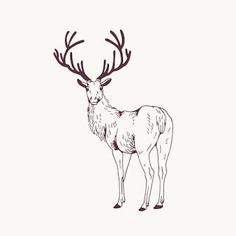 Desenho de contorno elegante de veado macho ou veado, olhando para trás. animal da floresta lindo com chifres desenhados à mão com linhas de contorno sobre fundo claro. ilustração em vetor monocromático no estilo de gravura.