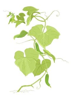Desenho de cor de planta de pepino. folhas verdes.