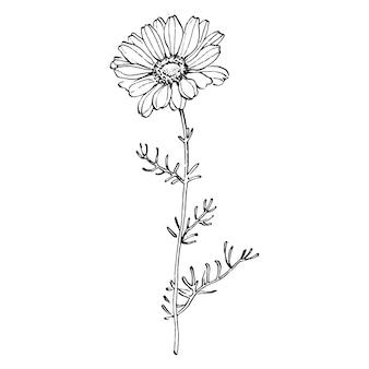 Desenho de ilustração de esboço de camomila