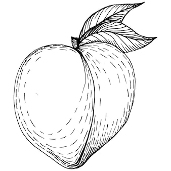 Desenho de pêssego isolado. fruta desenhada de mão.