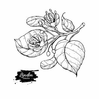 Desenho de ramo de tília