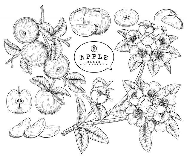 Desenho vetorial apple conjunto decorativo. ilustrações botânicas de mão desenhada.