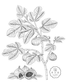 Desenho vetorial frutas conjunto decorativo. fig. ilustrações botânicas desenhadas à mão.