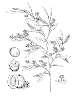 Desenho vetorial olive conjunto decorativo. ilustrações botânicas de mão desenhada.