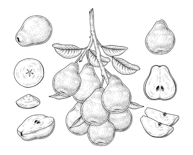 Desenho vetorial pêra conjunto decorativo. ilustrações botânicas de mão desenhada.