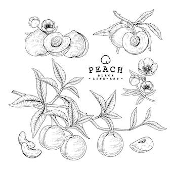 Desenho vetorial pêssego conjunto decorativo. ilustrações botânicas de mão desenhada.