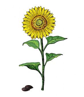 Desenho vintage desenho ilustração de girassol grande no fundo branco. vetor de flor de girassol. mão ilustrações desenhadas sobre fundo branco. desenho botânico colorido.