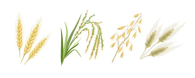 Desenhos animados de espigas de trigo, centeio, arroz e aveia