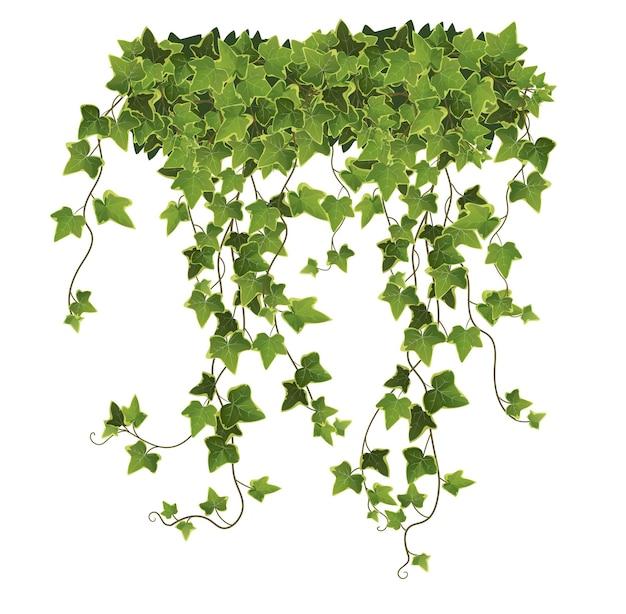 Desenhos animados de folhas e galhos de plantas de ivy em fundo branco
