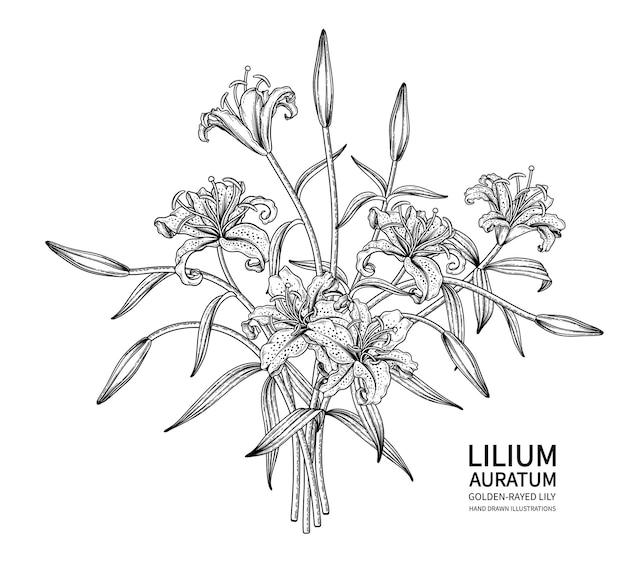 Desenhos da flor do lírio com raios dourados (lilium auratum).
