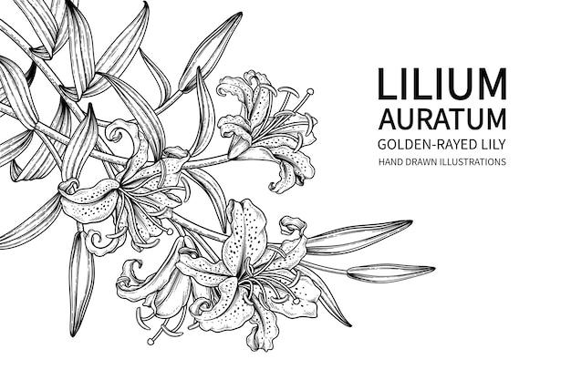 Desenhos de flor de lírio com raios dourados (lilium auratum)