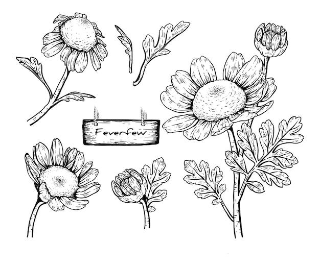 Desenhos de flores daisy feverfew