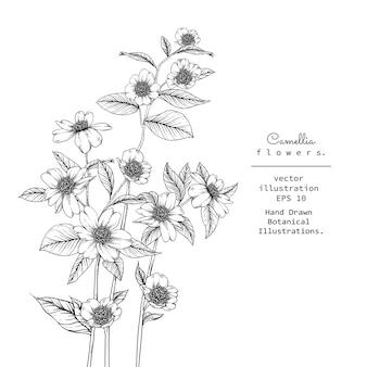 Desenhos de flores de camélia. ilustração botânica