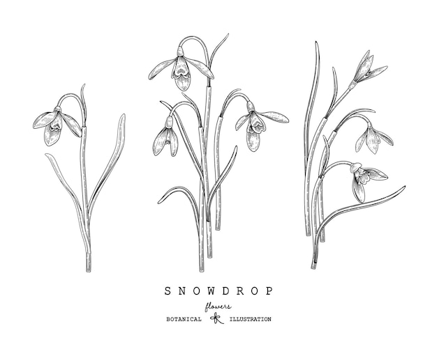 Desenhos de flores snowdrop.