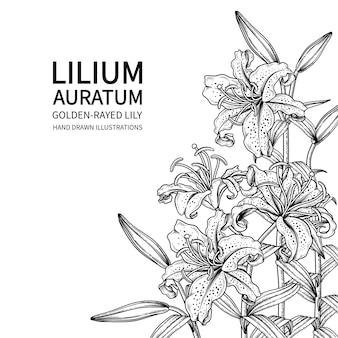Desenhos de lilium auratum de flor de lírio com raios dourados