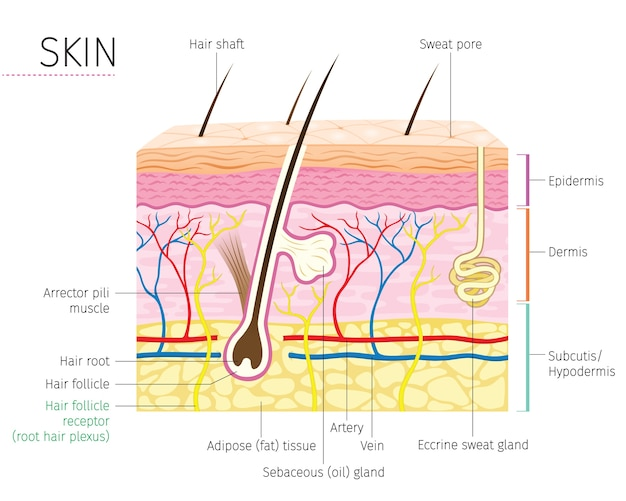 Diagrama da anatomia da pele e do cabelo