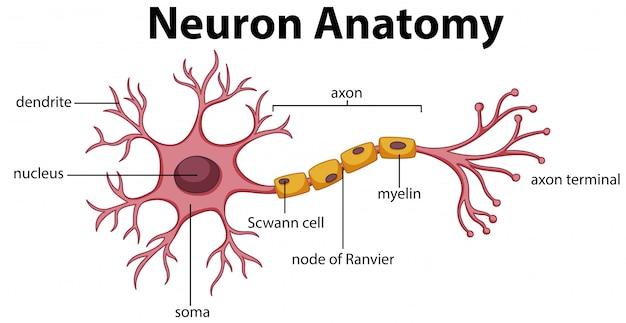 Diagrama da anatomia neuroniana