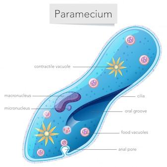 Diagrama da ciência das bactérias do paramecium