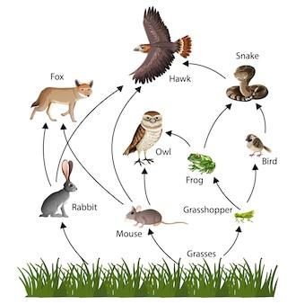 Diagrama de conceito de cadeia alimentar