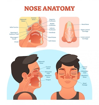 Diagrama de ilustrações médicas de anatomia do nariz