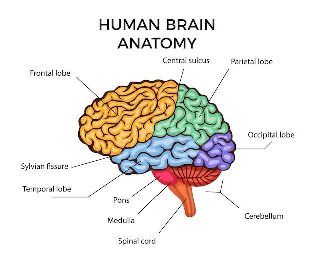 Diagrama de infográficos de anatomia do cérebro humano com seções e descrição de texto plana