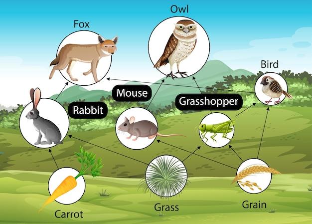 Diagrama de pôster educacional de biologia para cadeias alimentares
