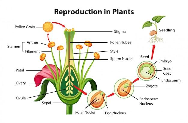 Diagrama de reprodução em plantas