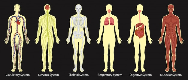 Diagrama de sistemas no corpo humano
