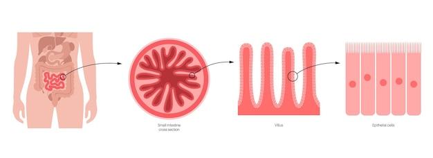 Diagrama de vilosidades intestinais. superfície das paredes intestinais. seção transversal do intestino delgado