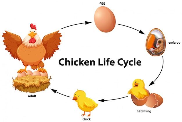 Diagrama do ciclo de vida da galinha