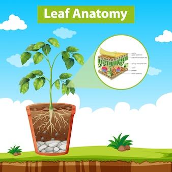 Diagrama mostrando a anatomia das folhas