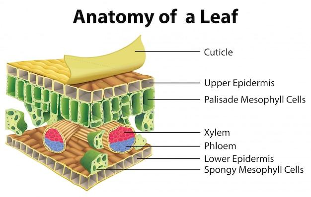 Diagrama mostrando a anatomia de uma folha