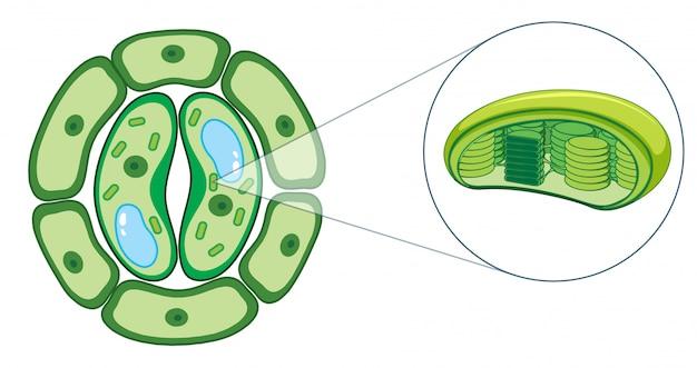 Diagrama mostrando a célula vegetal
