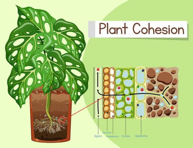 Diagrama mostrando a coesão da planta