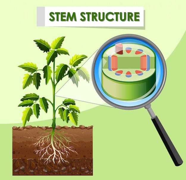 Diagrama mostrando a estrutura da haste da planta