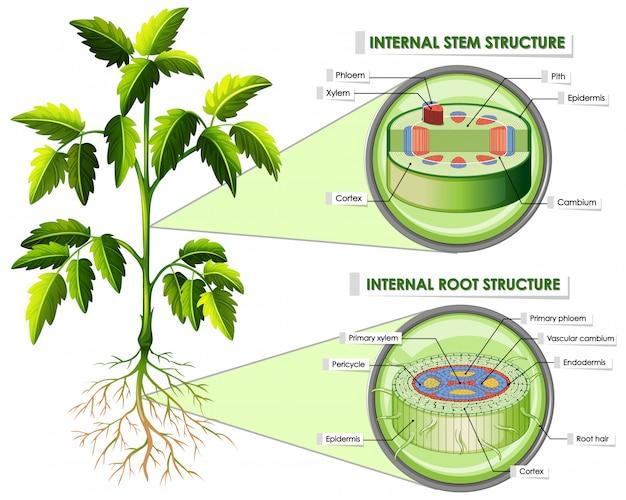 Diagrama mostrando a estrutura da haste e da raiz