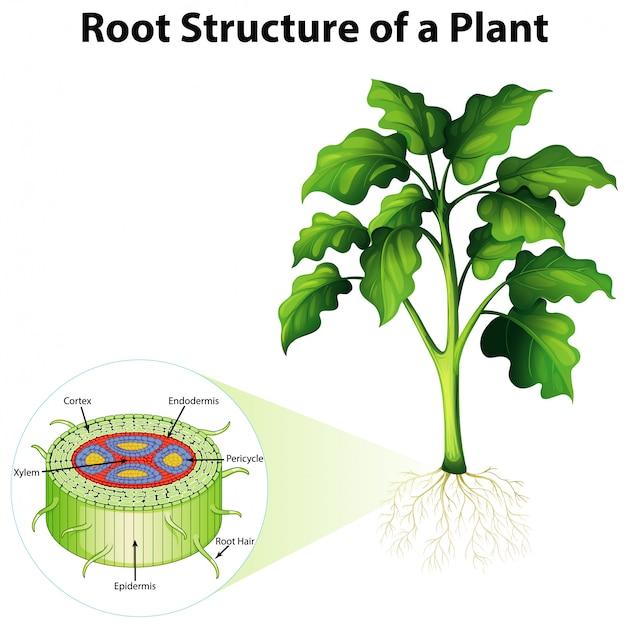 Diagrama mostrando a estrutura da raiz de uma planta