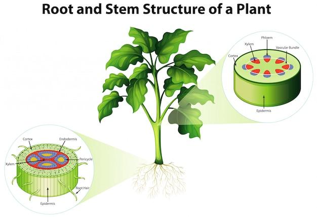 Diagrama mostrando a estrutura da raiz e do caule de uma planta