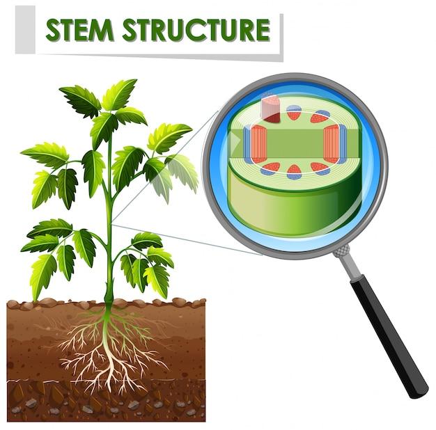 Diagrama mostrando a estrutura do caule de uma planta
