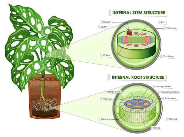 Diagrama mostrando a estrutura do caule e da raiz