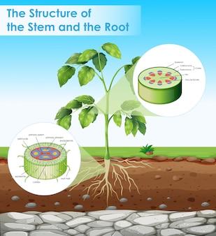 Diagrama mostrando a estrutura do caule e raiz