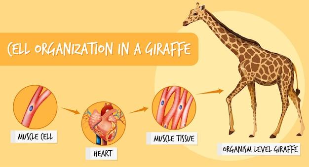 Diagrama mostrando a organização celular em uma girafa