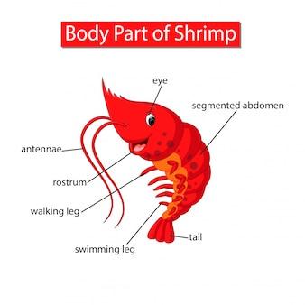 Diagrama mostrando a parte do corpo do camarão