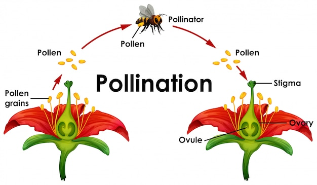 Diagrama mostrando a polinização com flores e abelhas