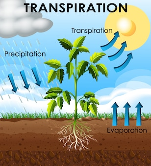Diagrama mostrando a transpiração da planta
