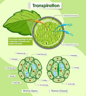 Diagrama mostrando a transpiração das plantas